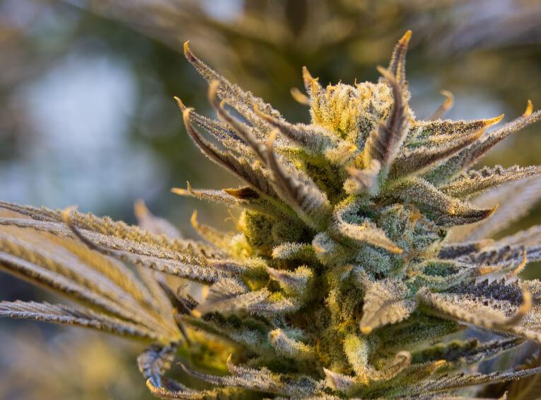 5 Benefits Of Smoking CBD Hemp Flowers-Max-Quality image